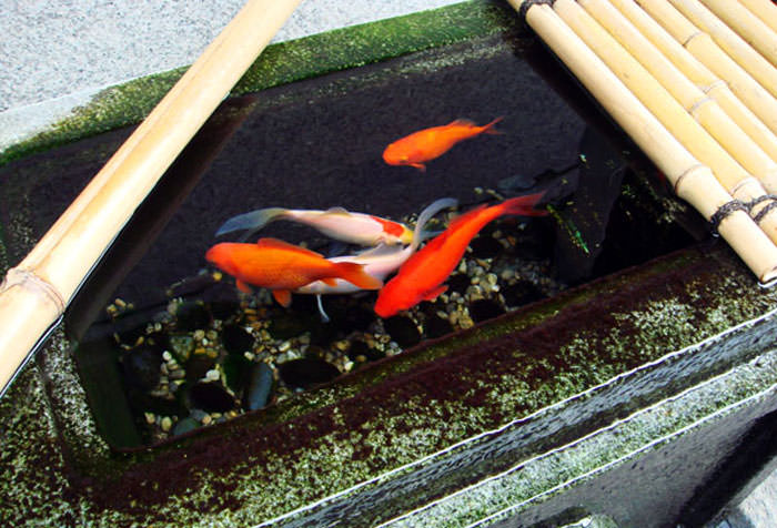 祇園の金魚