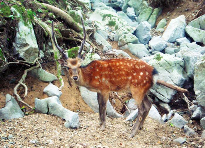 野生の鹿1