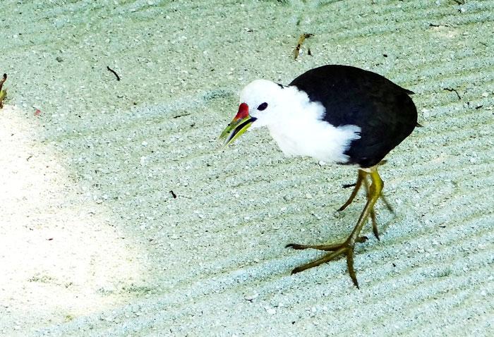 モルディブの鳥